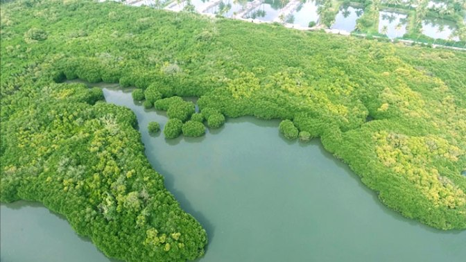 Mangroves thriving anew -Ayiramthengu